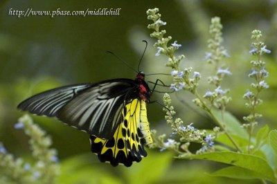 Common Birdwing - »n»ñ½º - 0041