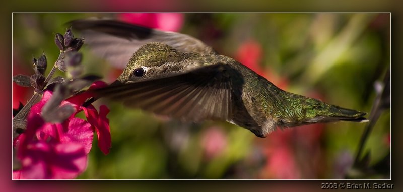 Annas Hummingbird 01