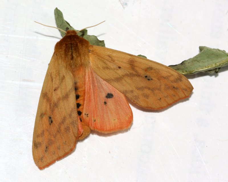 Isabella Tiger Moth, Hodges#8129 Pyrrharctia isabella