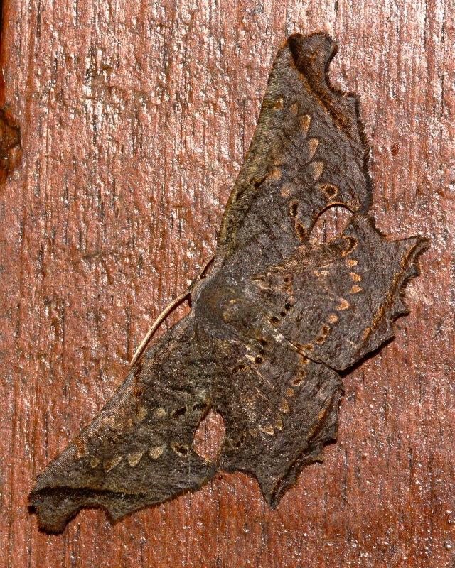 Crypsicoela subocellata (Uraniidae: Epipelminae)