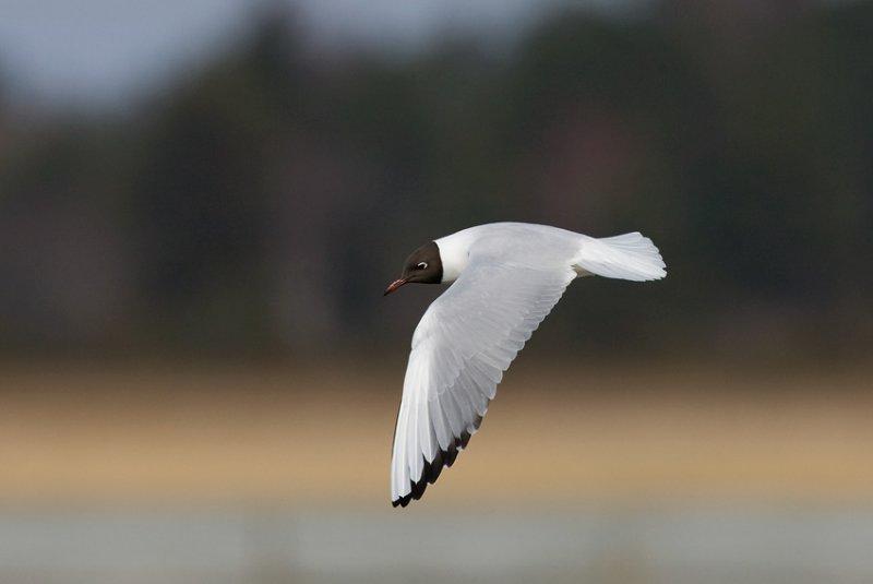 Black-headed Gull (Larus ridibundus)