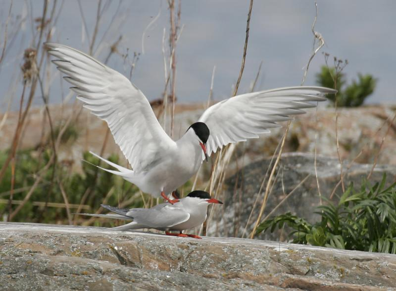Common Terns (Sterna hirundo)