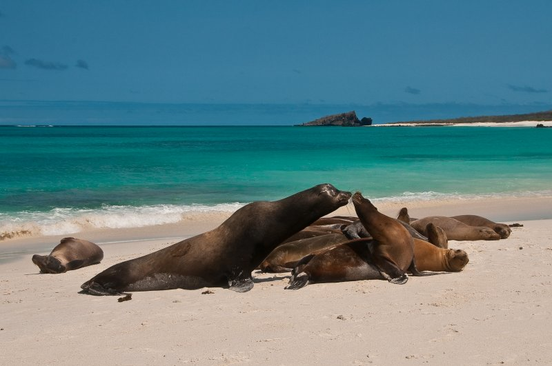 Bull Sea Lion and His Harem