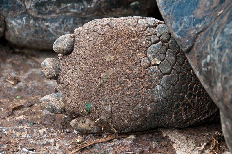 Galapagos Tortoise Foot