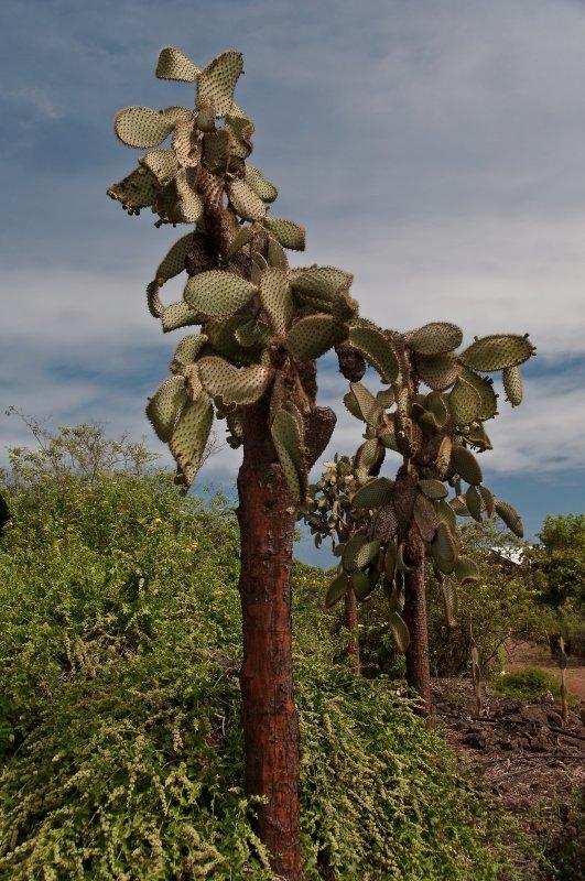 Prickly Pear Cactus (Opuntia Cactaceae)