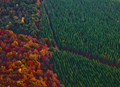 Fall Trees on the Edge of a Pine Tree Farm