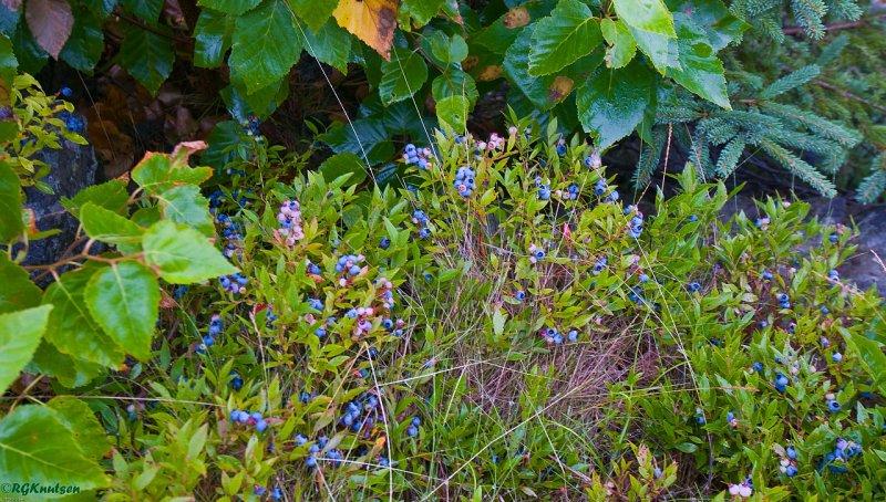 Maine blueberries
