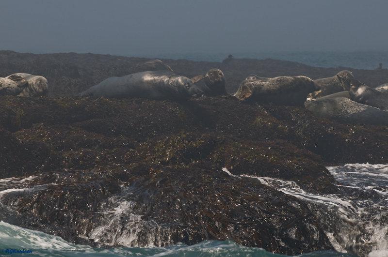 Machias Seal Island - Seals