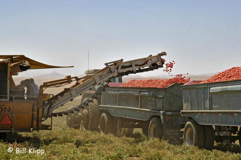 Delta Scenics Byron Tomato Harvest 1