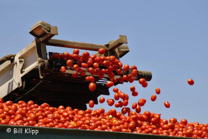 Byron Tomato Harvest 2