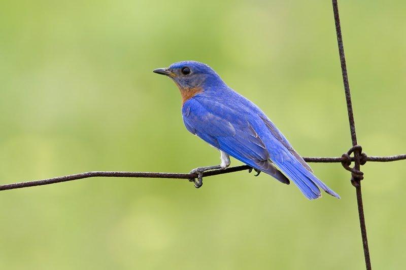 Eastern Bluebird007.jpg