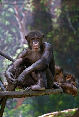 Contemplating Chimp