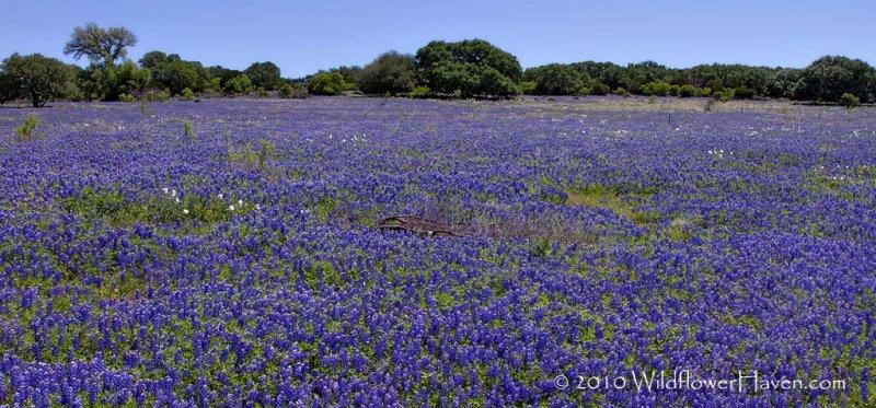 Pasture of Bluebonnets