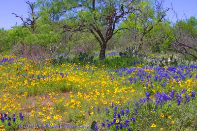 A Texas Wildflower Scene