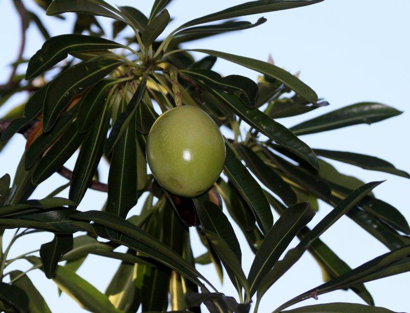PLANT - MONKEY FRUIT TREE - ANDOHAHELA NATIONAL PARK MADAGASCAR (2).JPG