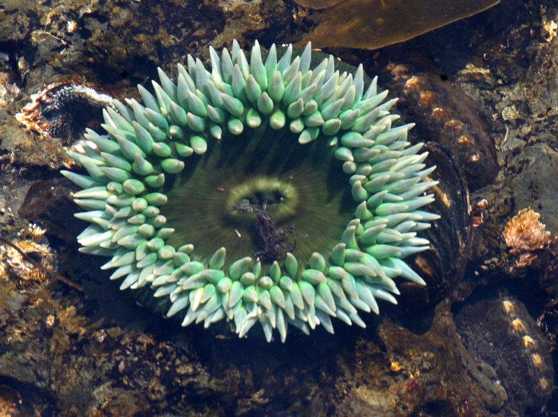 INVERTS - INTERTIDAL - CNIDARIAN - ANTHOPLEURA XANTHOGRAMMICA - GREEN SEA ANEMONE - TONGUE POINT WA (4).JPG