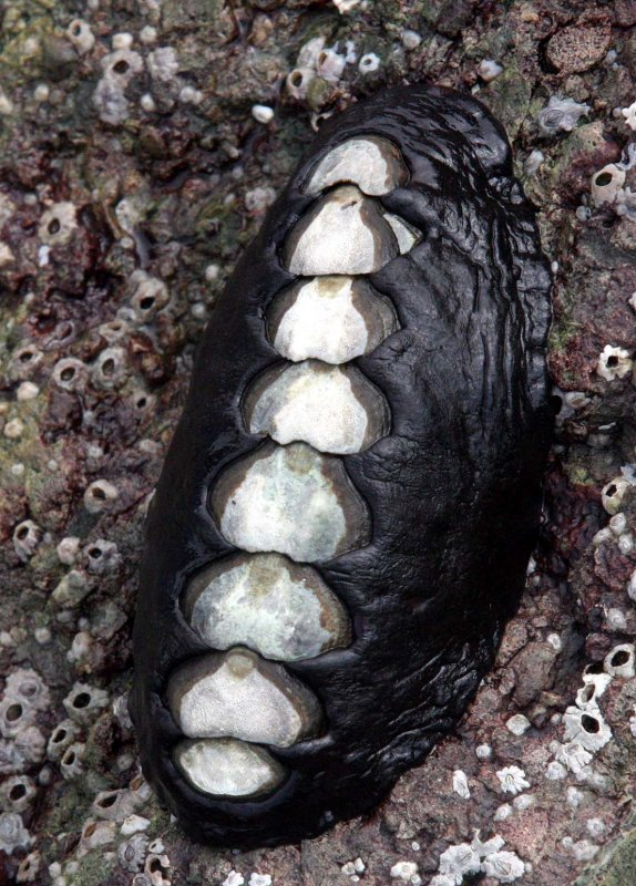 INVERTS - MARINE INTERTIDAL - CHITON - KATHARINA TUNICATA - BLACK LEATHER CHITON - SALT CREEK WA (3).JPG