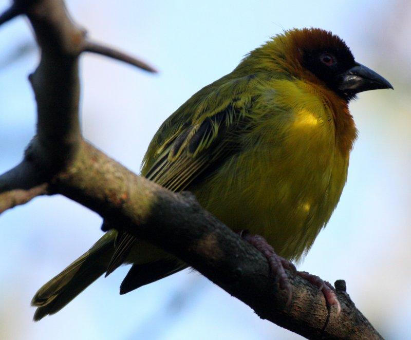 BIRD - WEAVER - MASKED WEAVER - WOODLAND PARK  (3).JPG