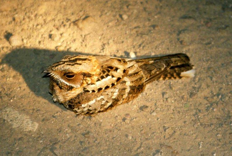 BIRDS - NIGHTJAR - FIERYNECKED.jpg