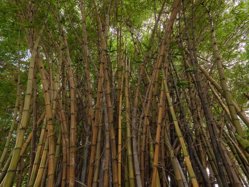 Bamboo </p>P1000189