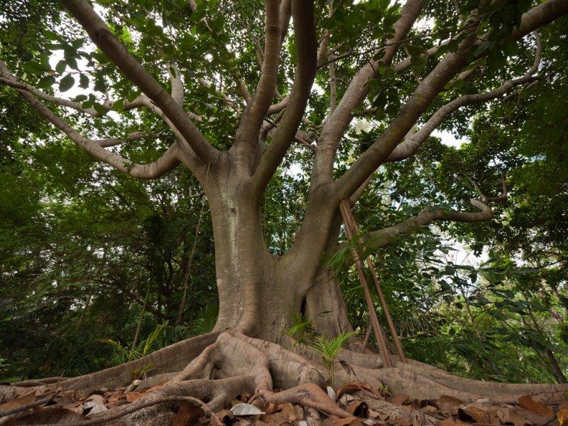 Fig tree </p>P1000246