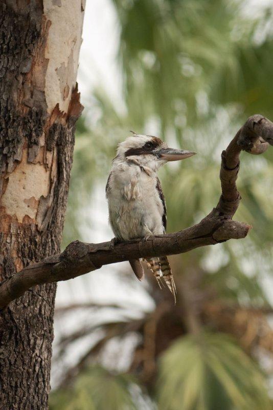 Laughing Kookaburra </p> P1000274
