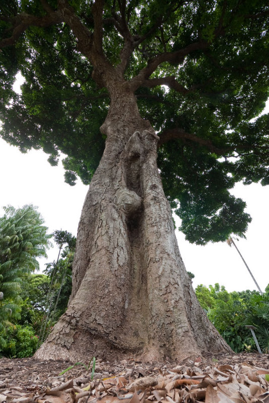 Mango tree </p>(P1000934)