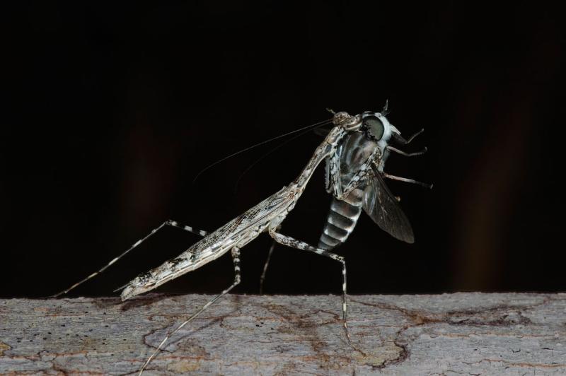 mantis eating tabanid fly (_DSC3900)