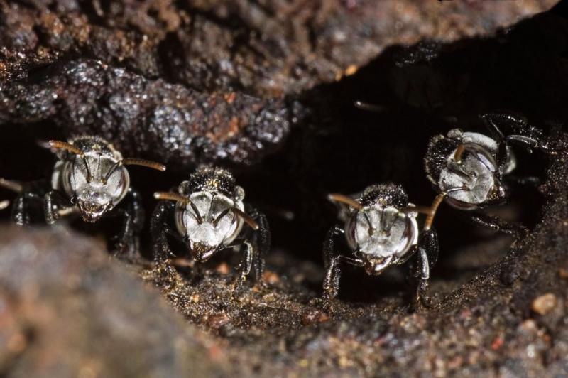 Australian native stingless bees (DSC_9651)