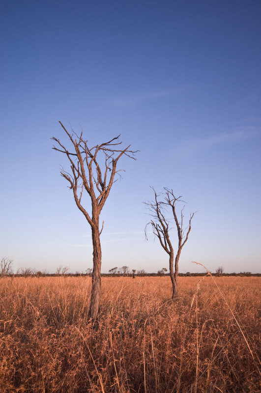 Small dead gidgee trees near sunset _DSC2549