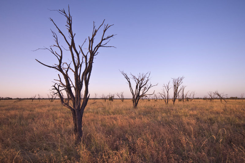 Dead gidgee trees and grass near sunset _DSC2568