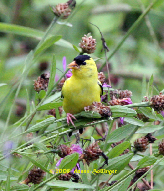 Male Goldfinch on Centaurea