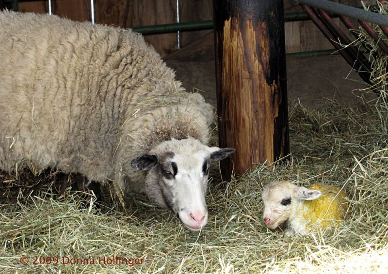 Newborn Lamb and MOM