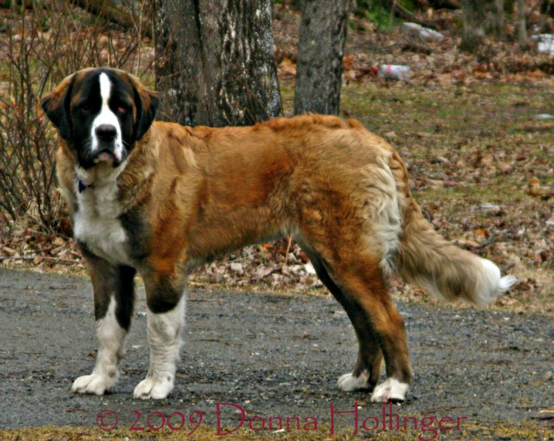 Portrait of a St. Bernard, Ginger