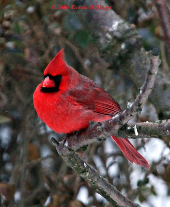 Fluffed Out Male Cardinal