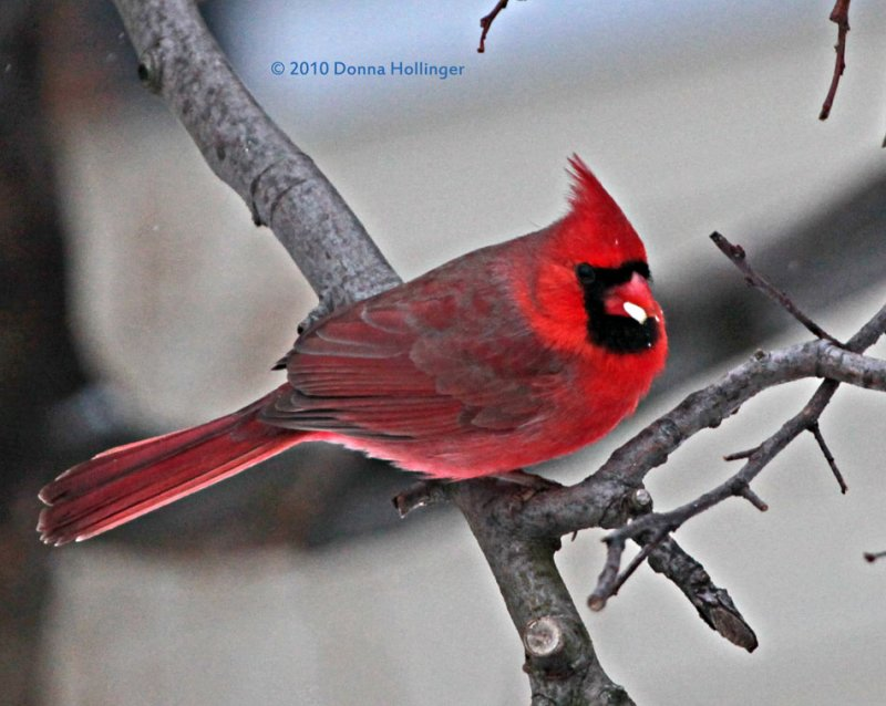 Male Cardinal at Archies House