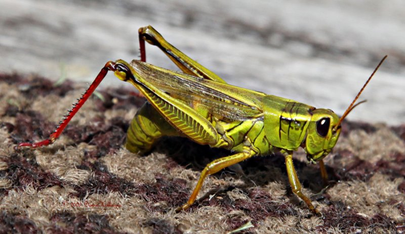 Female Grasshopper Laying Eggs On My Rug