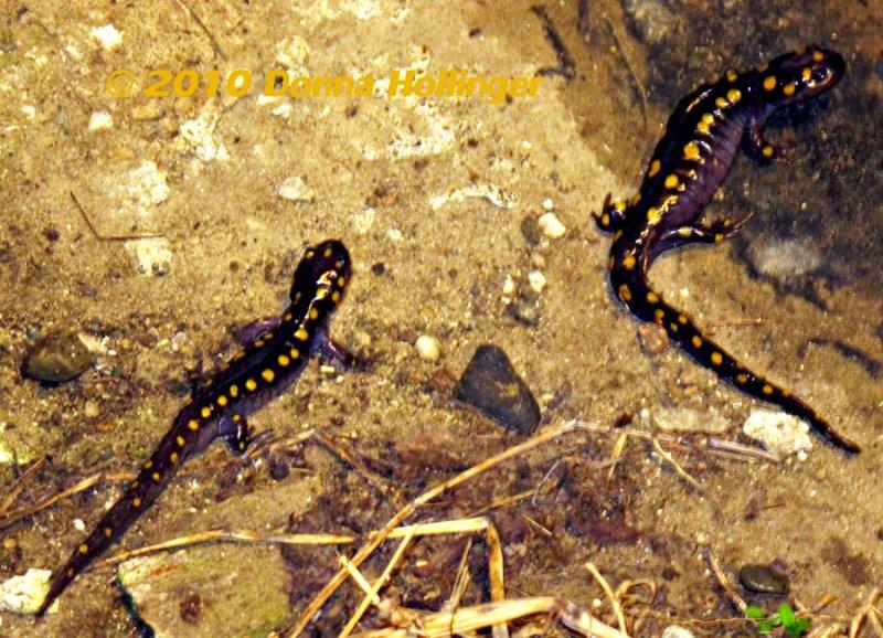 Ambystoma maculatum, Spotted Salamander
