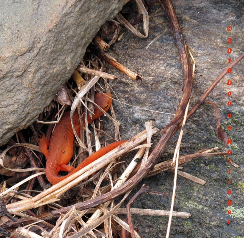 Red Eft  in the Driveway Garden