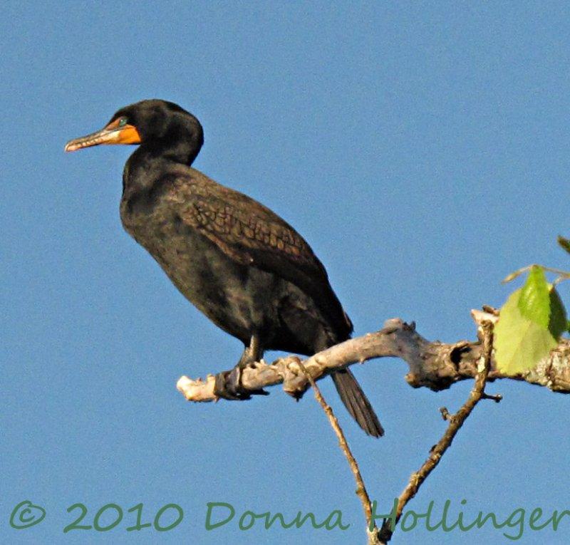 Fresh Pond Cormorant