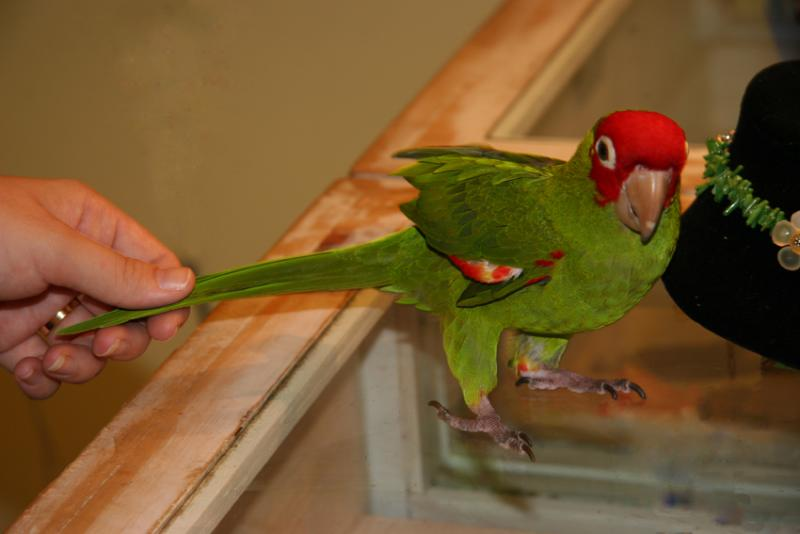Tabasco, The Green Parrot