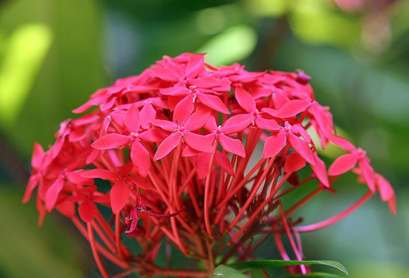 Ixora coccinea, Flame of the Woods