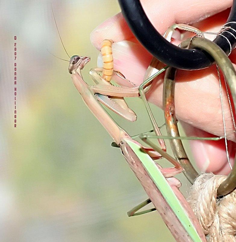 Feeding Missy Mantis