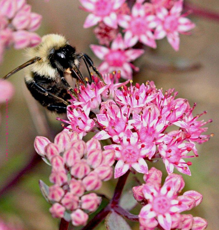Beefly on Sedum flowers