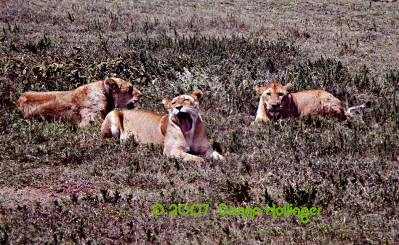 YAWN!  Three Lions