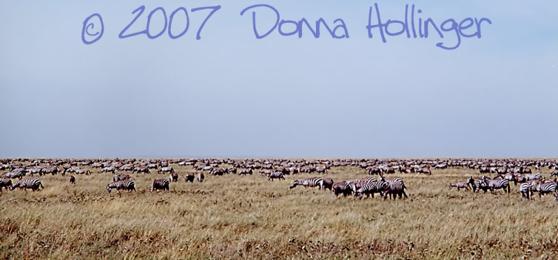 Horizon with Zebra Herd