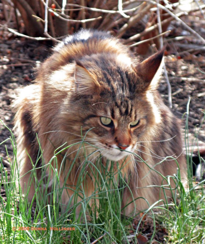 Maine Coon Augie