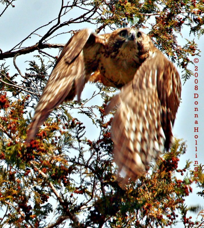 Flying Red Tailed Hawk