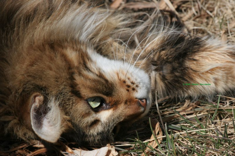 Augie, Maine Coon