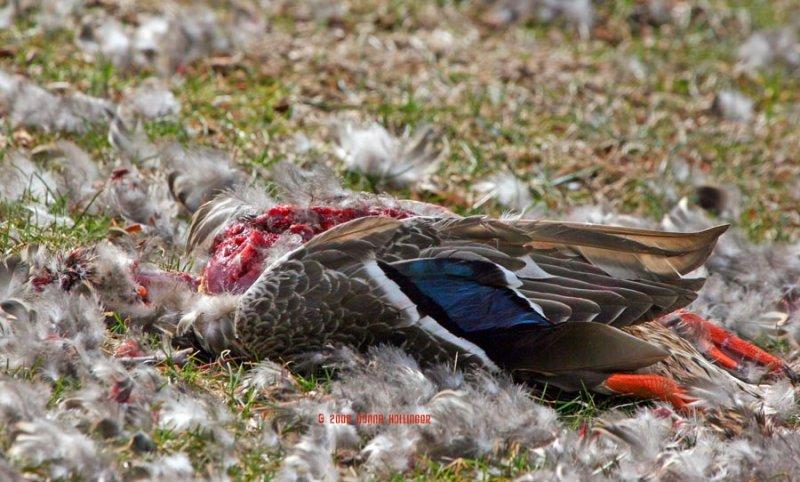 Female Mallard Prey to Hawk